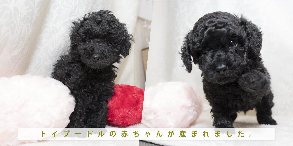 可愛いトイプードルの子犬がうまれました!
