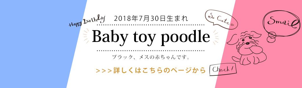 プードルの赤ちゃんが産まれました。